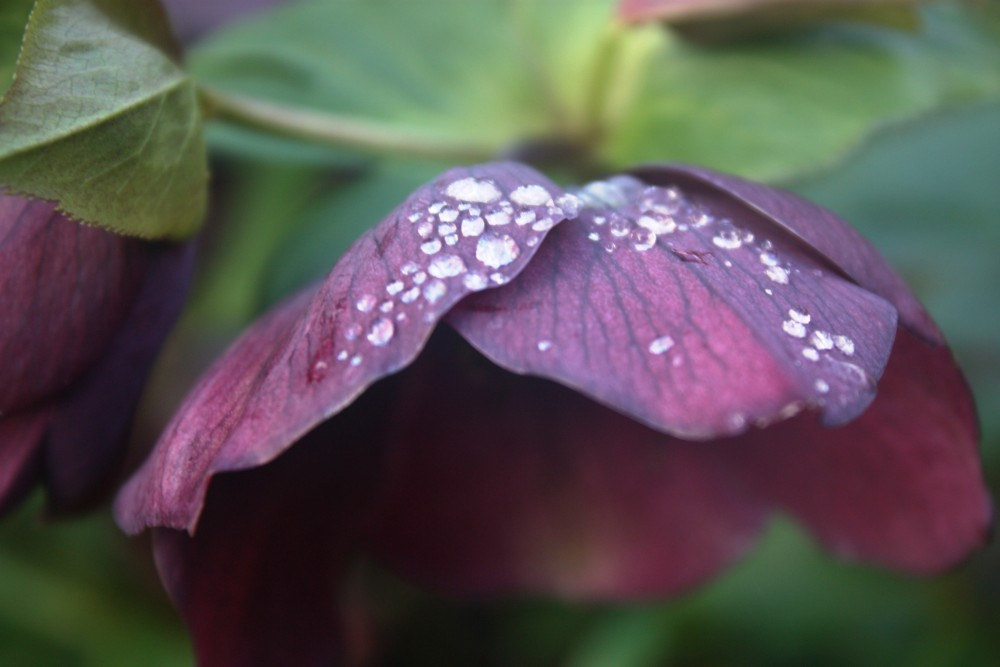 RHS Rosemoor, a garden in winter (3/6)