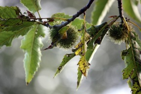 Chestnuts hanging on