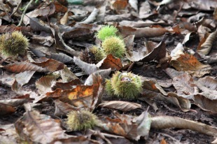Chestnut path