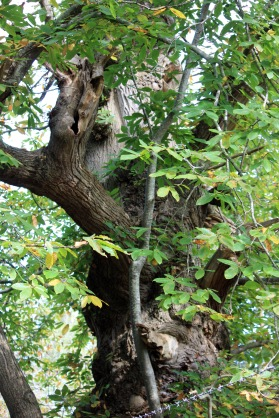 Gnarly Chestnut tree