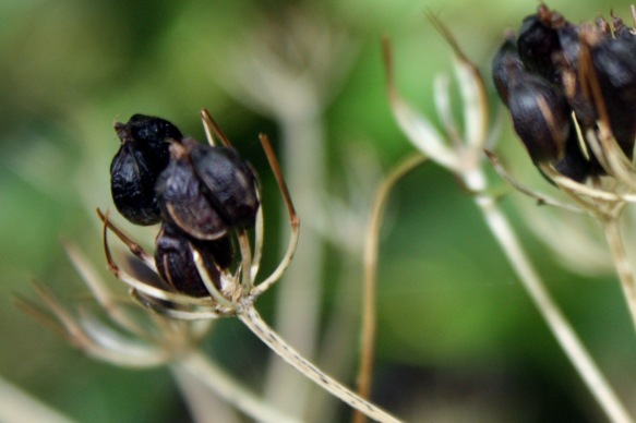 Dark seedheads