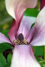 Dark magnolia