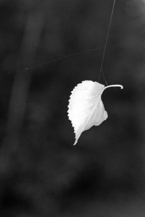 leaf suspended