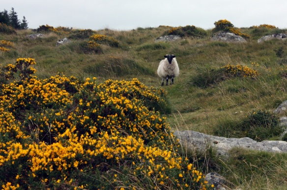 one dartmoor sheep