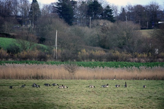 Distant geese