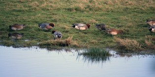 Widgeon family