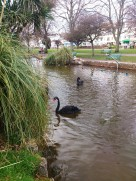 The home of the famous black swans - Fifi probably came from here!