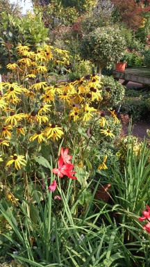 Yellow coneflowers/ echinacea
