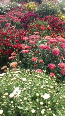 Chrysanths flower prolifically
