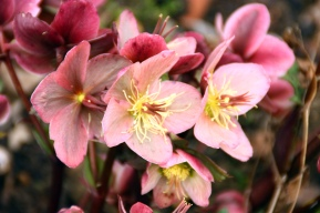My favourite Lenten Rose