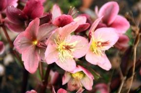 My favourite Lenten Rose
