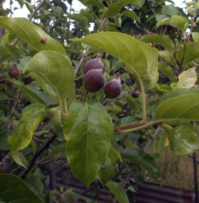 Future pear chutney