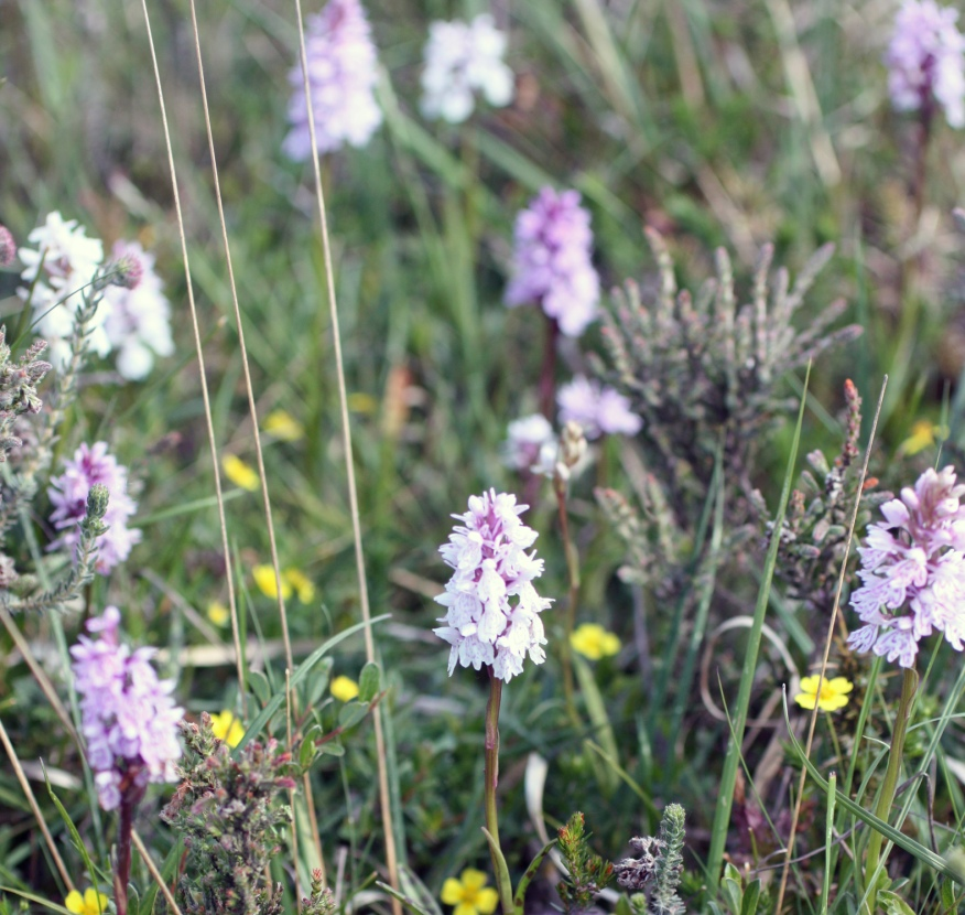 Wild orchids, down to earth on Woodbury Common.