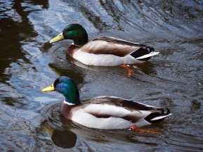 Shiny happy ducks