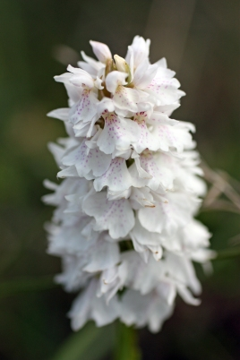 Woodbury common orchid